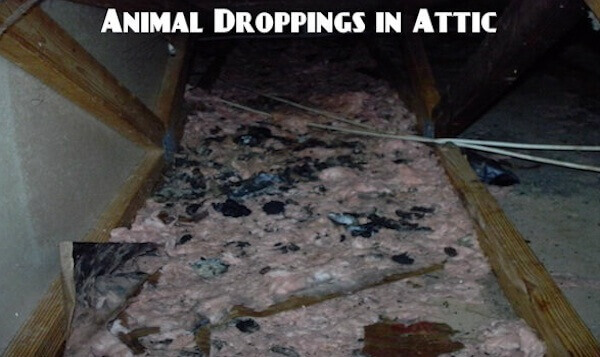 animal droppings cleanup service in attic NJ - lot's of droppings in attic