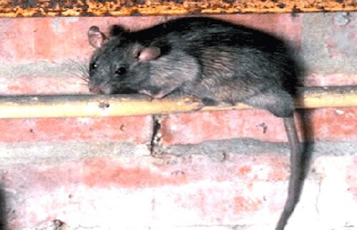 rat droppings nj - cleanup rat droppings in new jersey